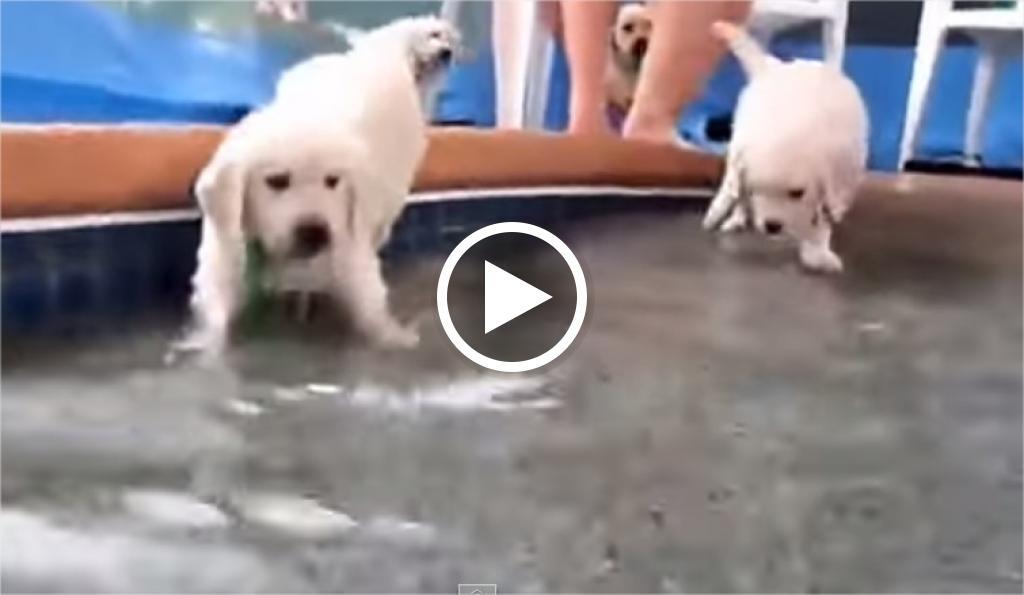 Il primo bagno dei cuccioli di Golden Retriever  3nzit