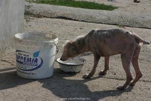 Randagio in un canile romeno