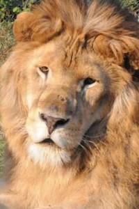 Il leone (dopo)