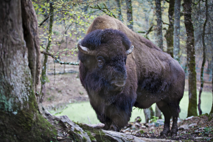 Il bisonte Arturo