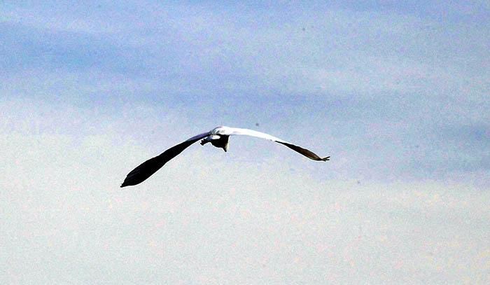 ibis sacro 3