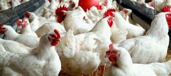 Ghana bans poultry imports from Europe over bird flu