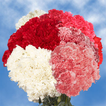 Cheap Valentines Day Carnations GlobalRose