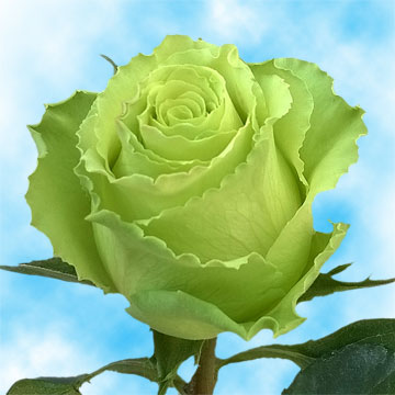Long Stem Lime Green Roses Buy Fresh Roses Mint Green Roses  Global Rose