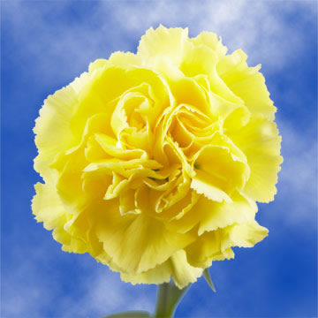Long Stem Yellow Carnations  GlobalRose