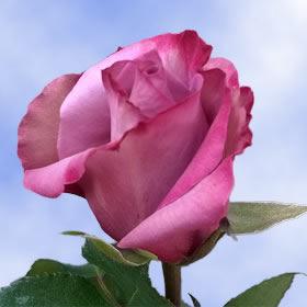 real roses dark purple