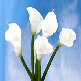 calla lilies flower white