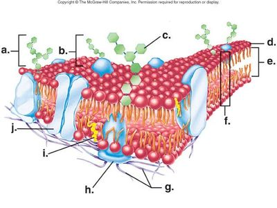 cell membrane diagram blank bmw audio wiring e39 changing the way you learn quiz in below which letter points to a structure that helps with attachment signaling and recognition of substances