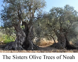 The Sisters Olive Trees of Noah