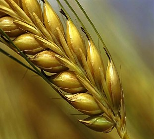 Opening Pandora's Bread Box: The Critical Role of Wheat Lectin in Human Disease