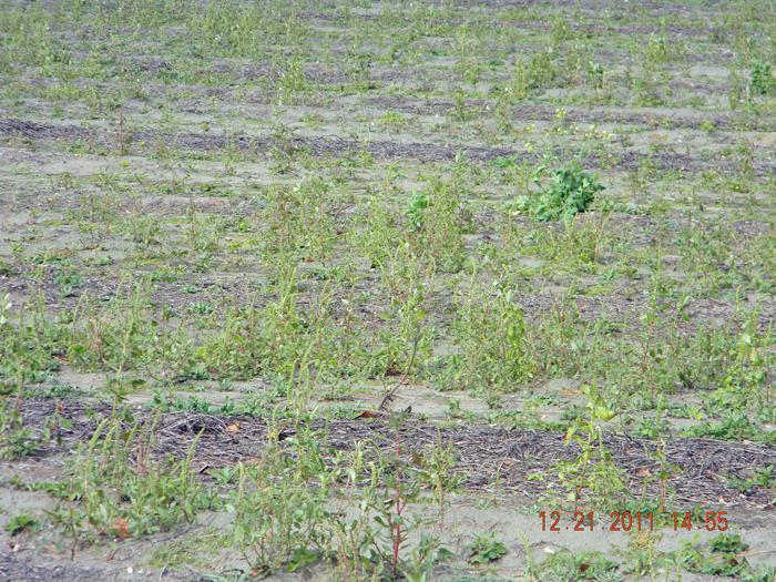 palmer amaranth that emerged after harvest and survived into december