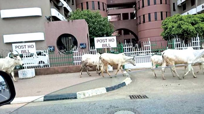 Image result for cattle grazing at abuja nigeria