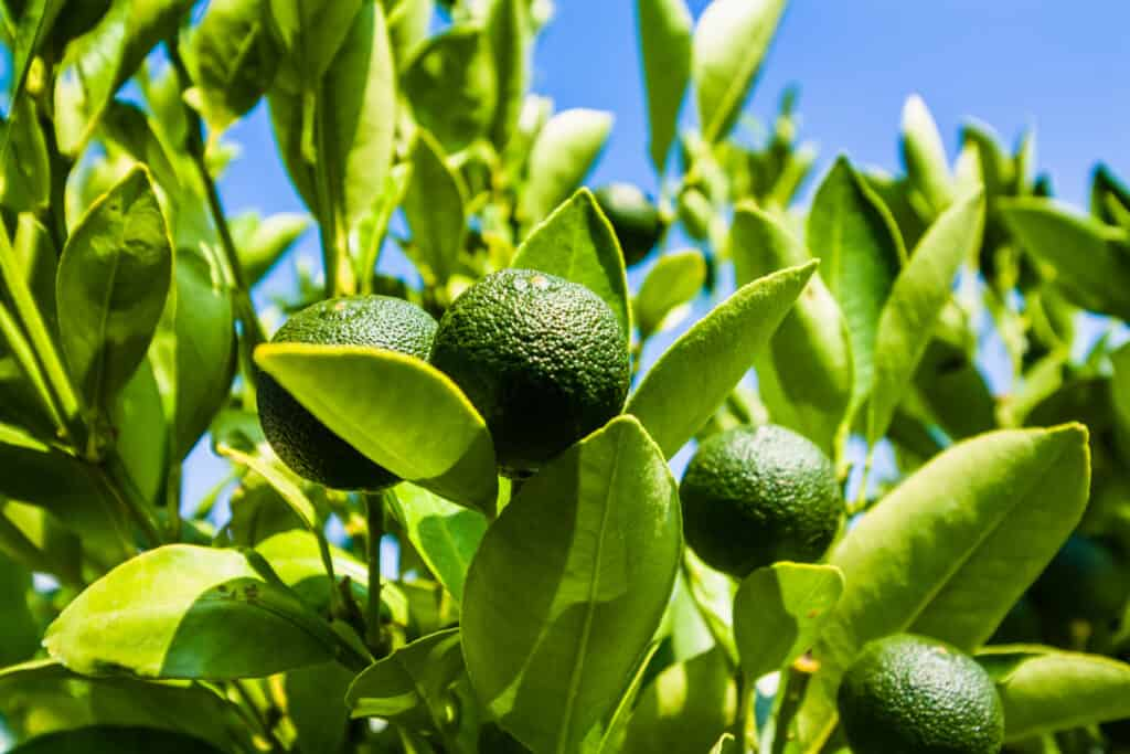 Limes for Backyard Gardens - Harvest to Table