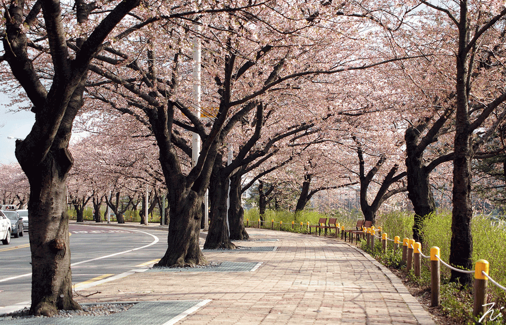 Wallpaper Images Of Fall Trees Lined Lake The Ultimate Guide To Cherry Blossom Viewing Spots In