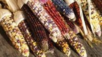 Indian Corn: A Fall Favorite - Hungry History
