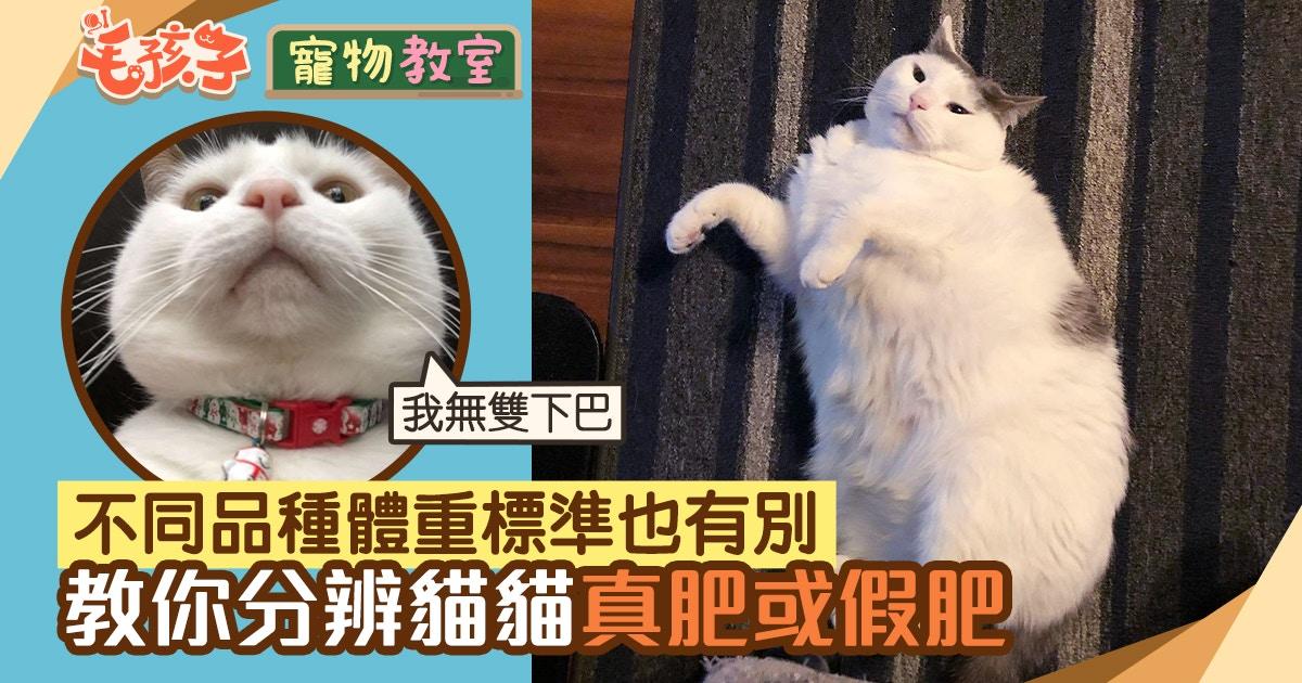 貓肥胖|大肥貓雖得意但健康問題多 教你分辨貓貓是否跌入肥胖網|香港01|寵物
