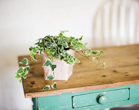 buy house plants ivy