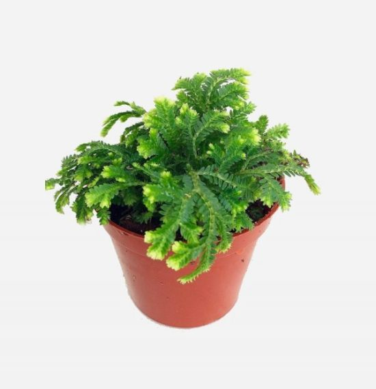 easy houseplant inspiration Selaginella kraussiana
