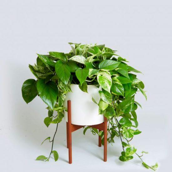 indoor plant with vines Epipremnum aureum