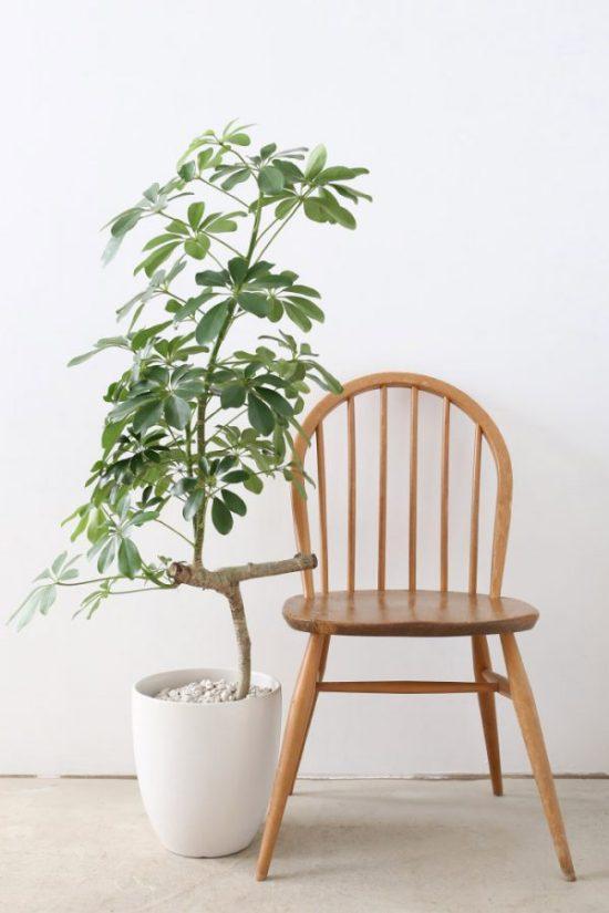 indoor tree plants Schefflera arboricola