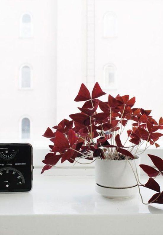 red house plant Oxalis triangularis