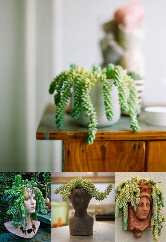 unique house plant Sedum morganianum