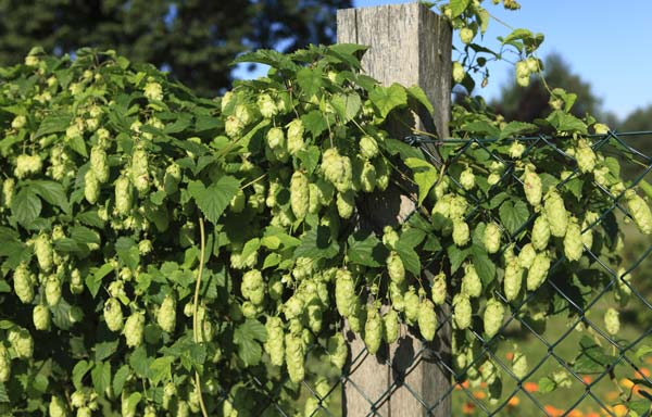 Another Word For Kiln Drying Hops