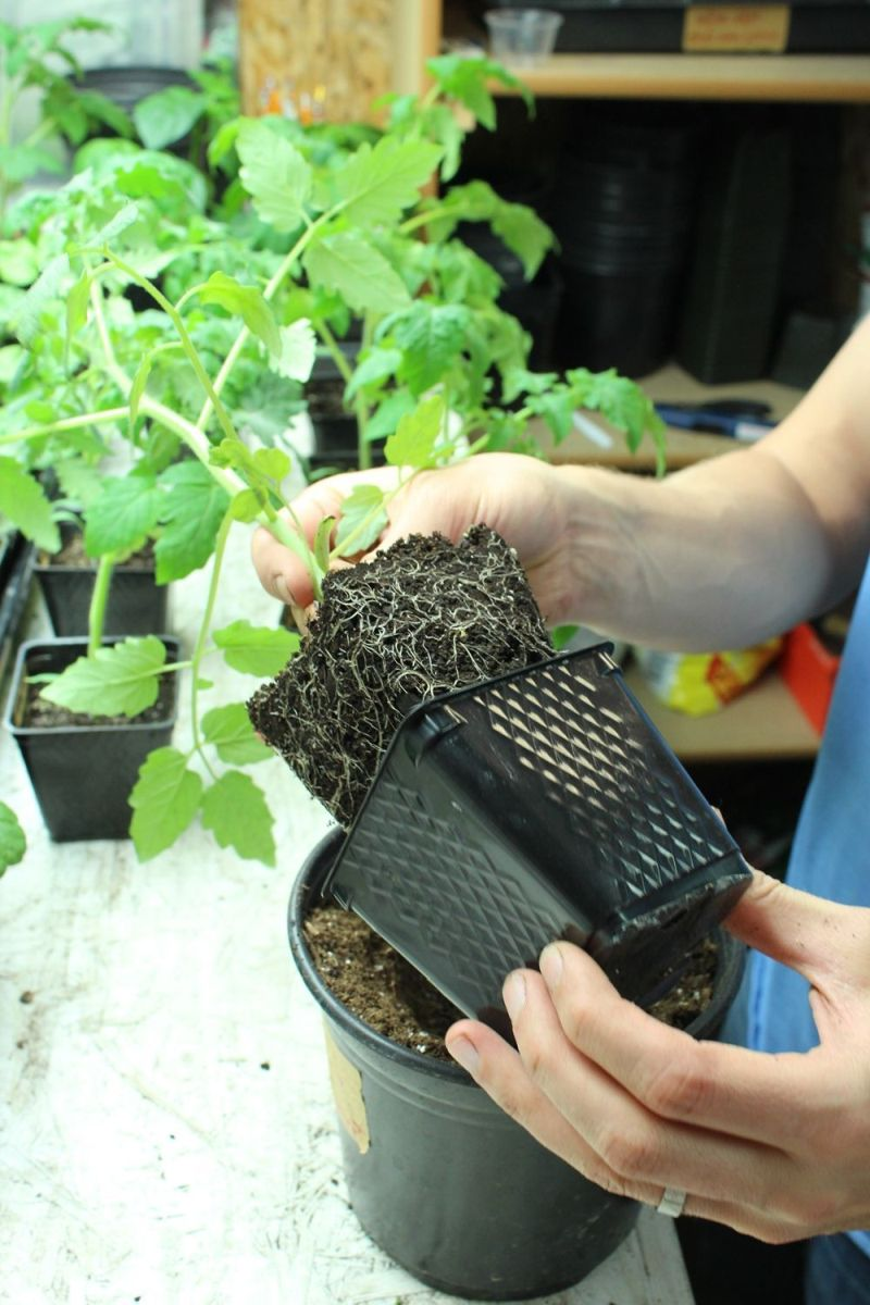 How To Grow Gorgeous Tomatoes From Seed