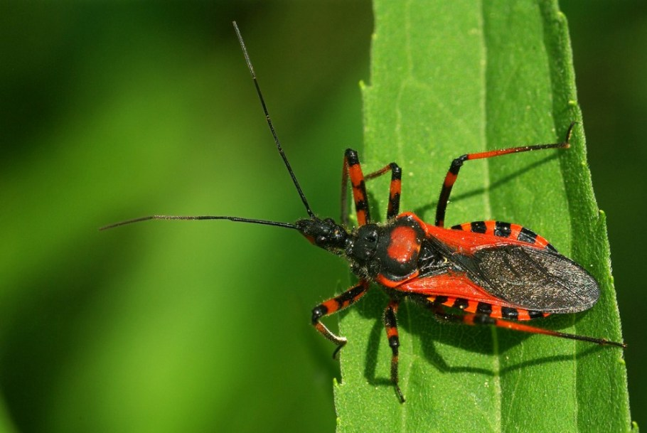 Assassin Bugs (Triatomine Vampire Bug)