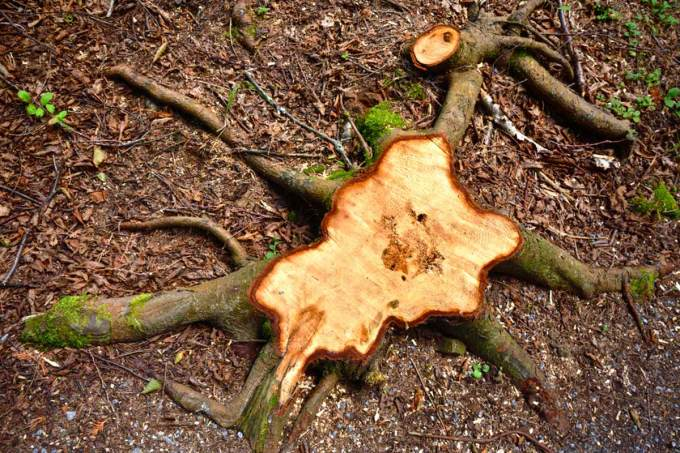 Image result for cut trees stumps
