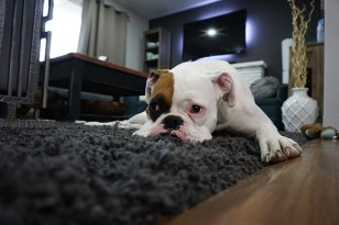 How To Clean Dog Pee From A Carpet