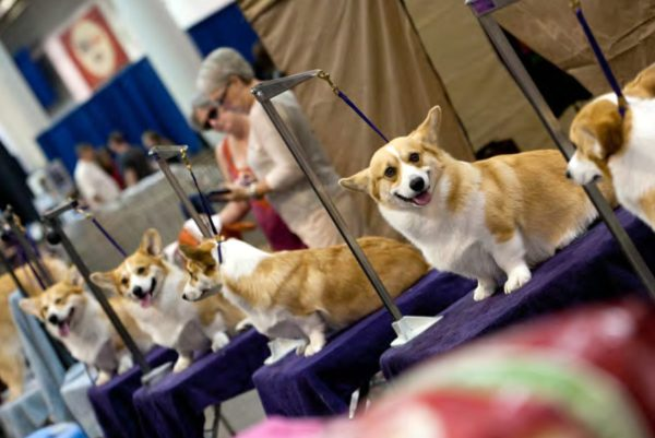 Live Houston World Series Of Dog Shows