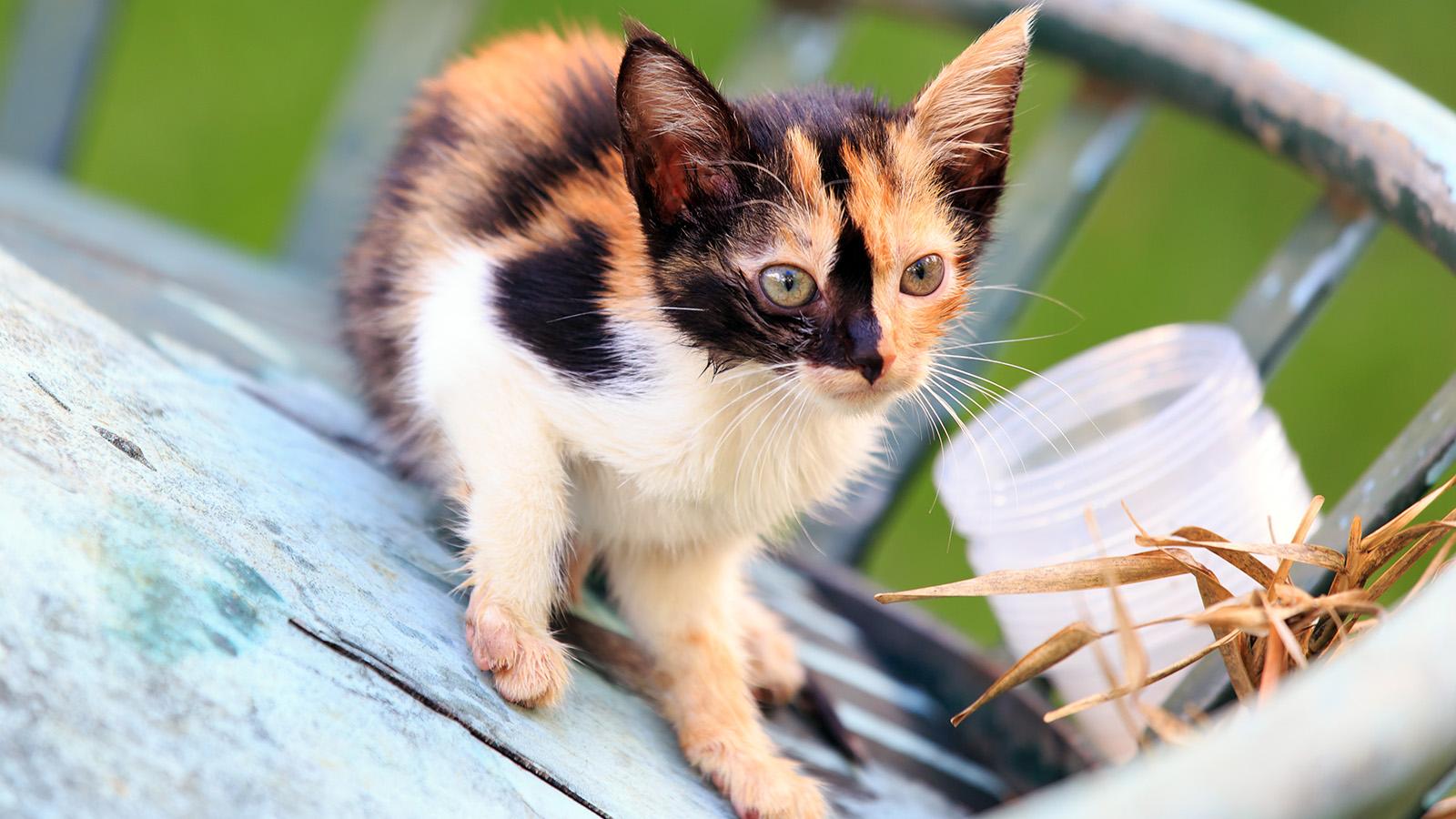 Tortoiseshell Cat Coat Colors