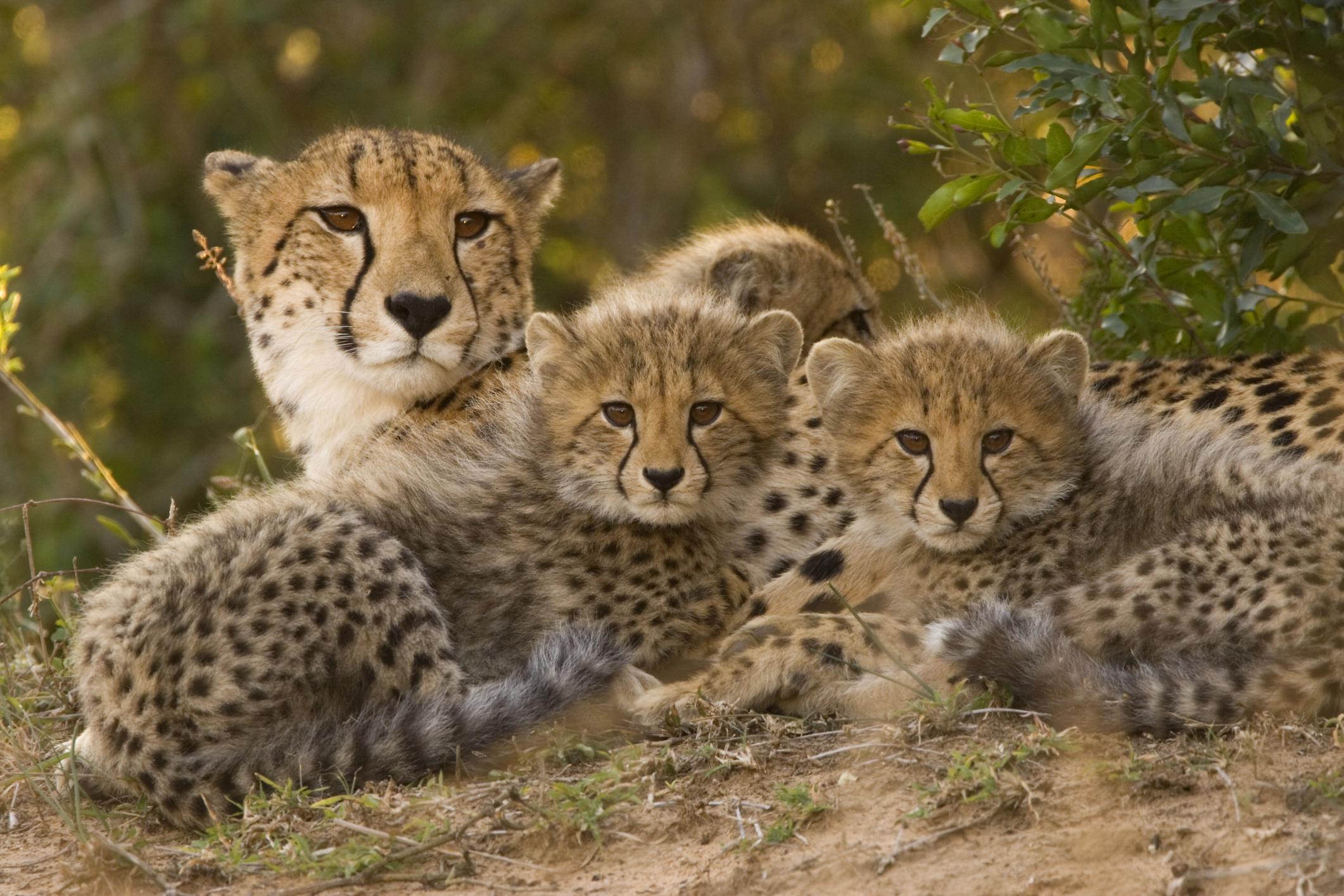 are cheetahs clones of
