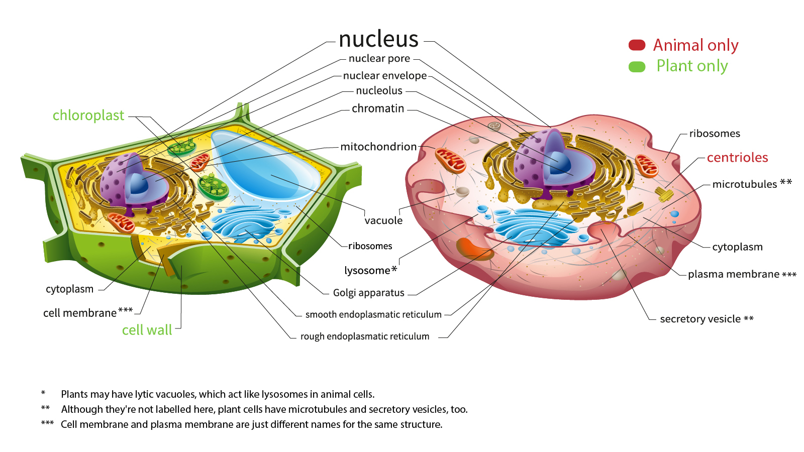 Human Cell Diagram Hd