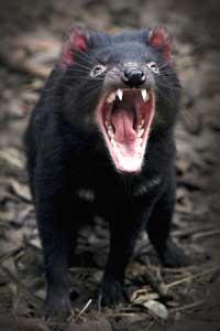 are tasmanian devils fighting