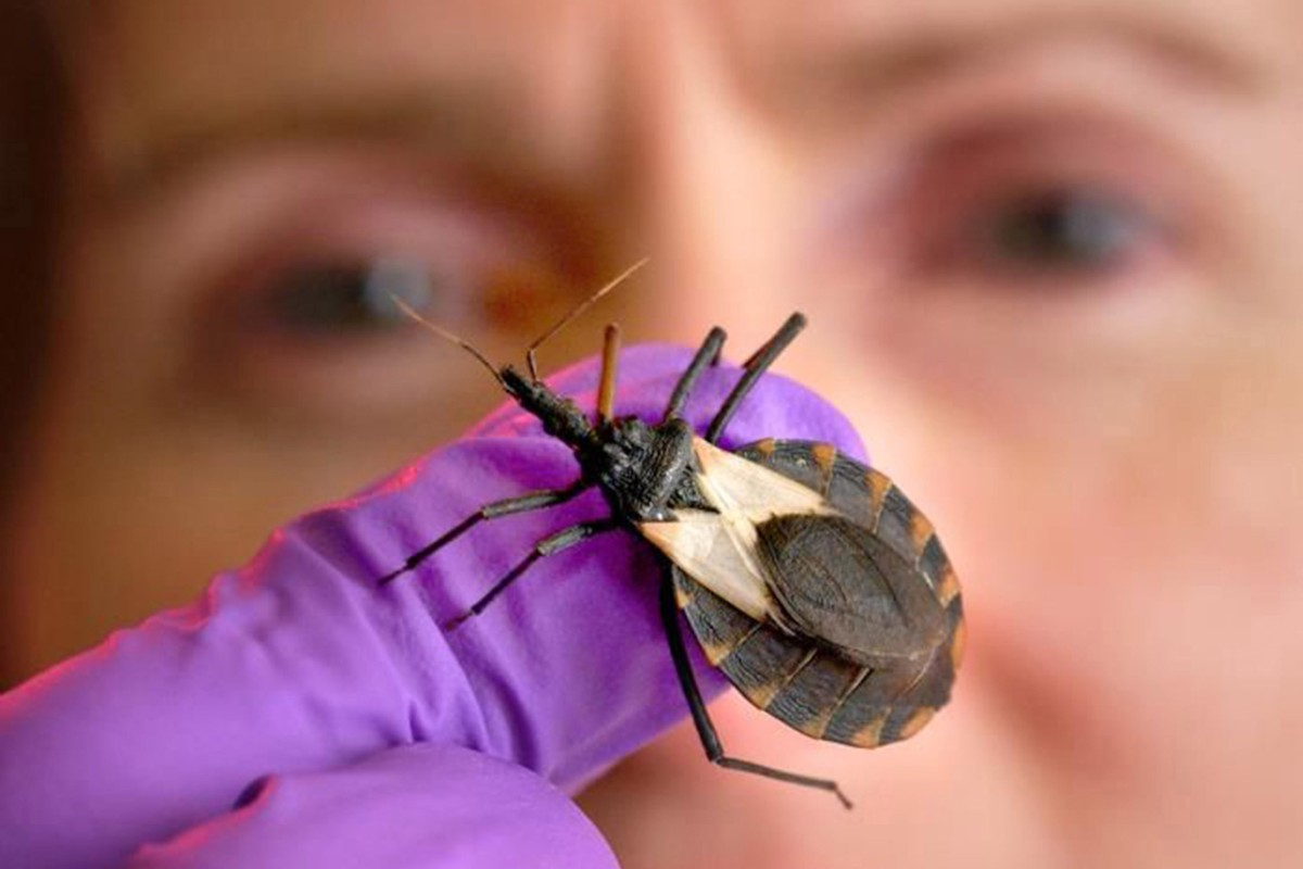 medium resolution of a triatomine bug or kissing bug photo centres for disease control and prevention