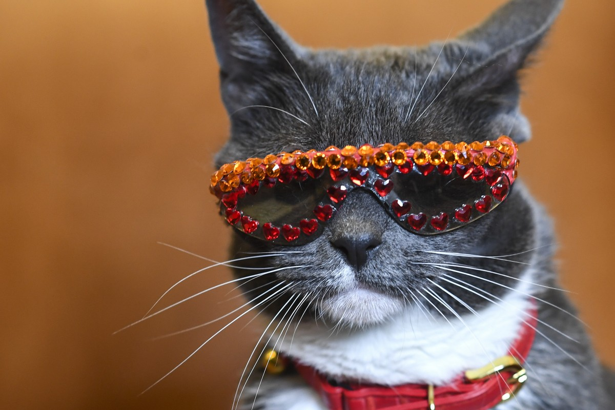 bagel aka sunglass cat was born without eyelids and wears sunglasses to protect her [ 1200 x 800 Pixel ]