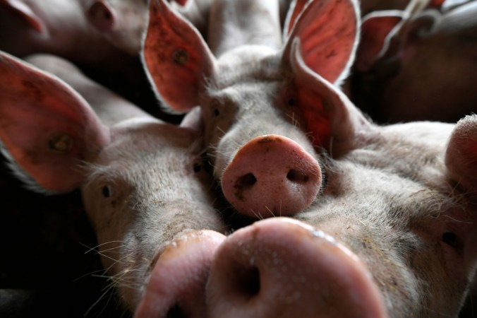 The swine fever epidemic has cut the country's herds by more than 40 per cent. Photo: AFP