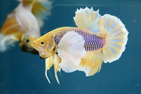 7 Jenis Ikan Cupang Termahal Di Indonesia Tembus Rp25 Juta