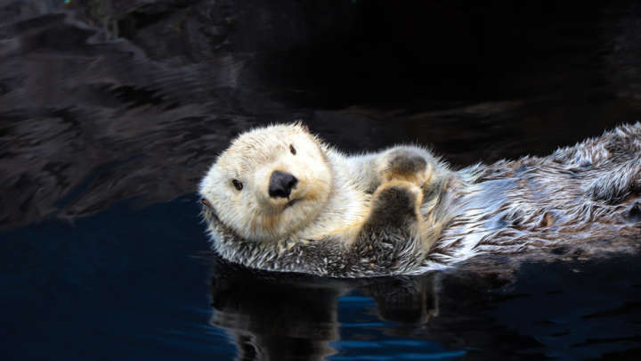 Otter Cute Wallpaper Otters Are Not Cute They Are Sick Depraved Jerks Iflscience