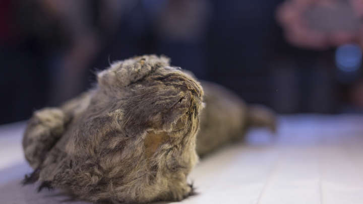Perfectly Preserved 50000YearOld Cave Lion Cub Raises