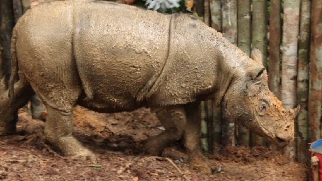 Critically Endangered Sumatran Rhino Seen In Indonesian