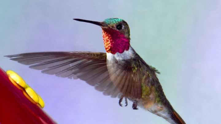 Hummingbirds Are More Efficient Than Helicopters When It