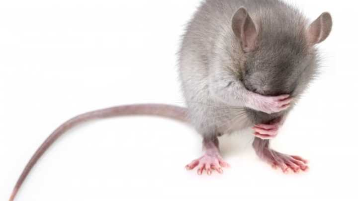 Immune Cells From Stressed Mice Have Antidepressant