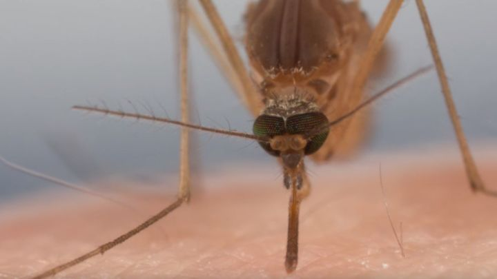Get An Up Close Look At How A Mosquito Sucks Your Blood  IFLScience