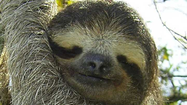 Fungi In Sloth Fur Could Have A Wide Variety Of Disease