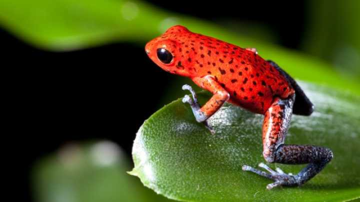 Poisonous Frogs Are More Susceptible To Extinction