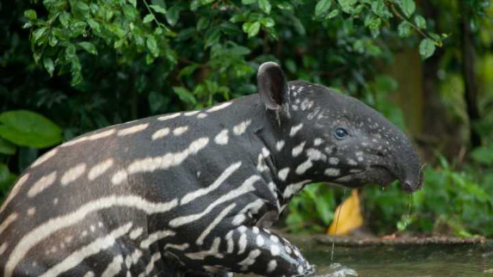 6 Things You Didnt Know About Tapirs NSFW  IFLScience