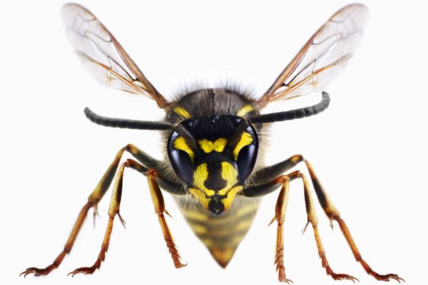 https://i0.wp.com/cdn.images.dailystar.co.uk/dynamic/1/photos/116000/german-wasps-627116.jpg